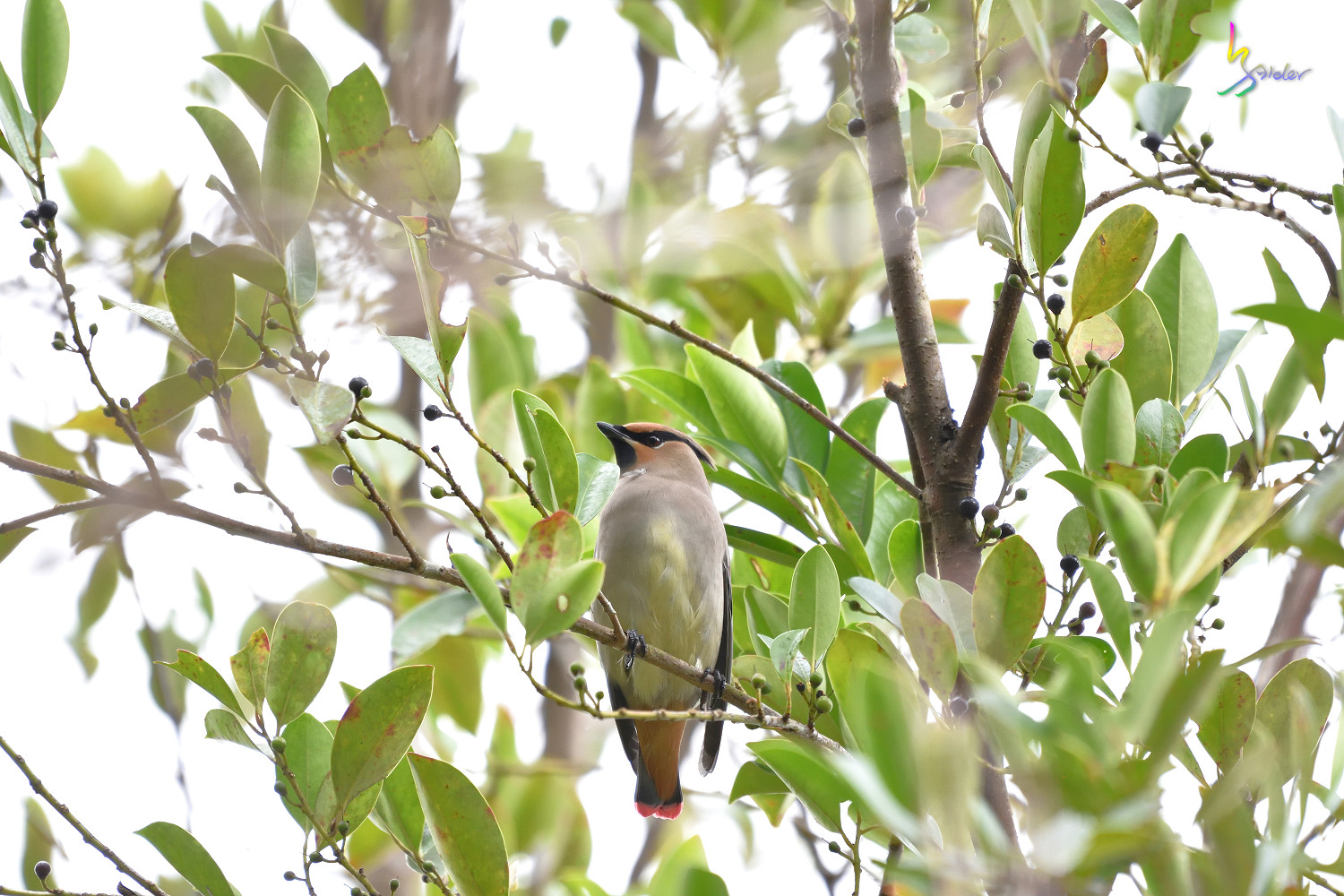 Japanese_Waxwing_7520