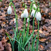 snowdrops | harlow carr