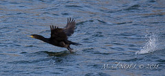 Grand Cormoran - Phalacrocorax carbo - Great Cormorant : Michel NOËL © 2018-8112.jpg