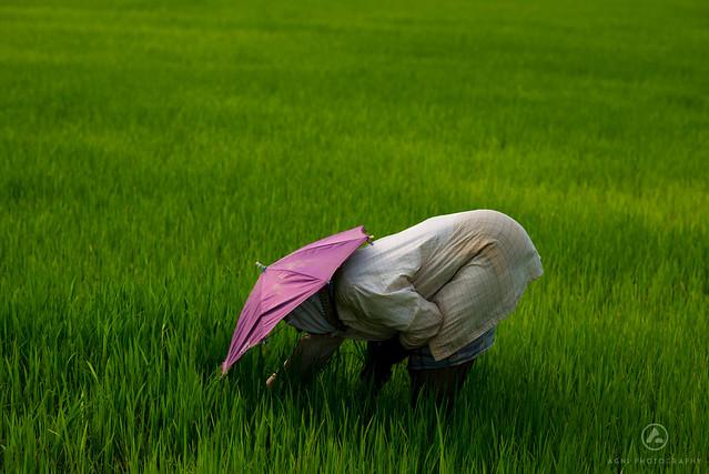 Kuttanad, the rice bowl of Kerala.