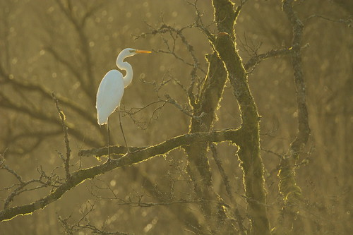 Great egret in swamp