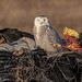 Junkyard Owl by rdroniuk