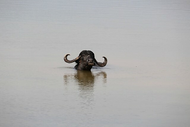 A buffalo lazes around in the plentiful waters of the Mutha as it flows into the Khadakwasla reservoir.