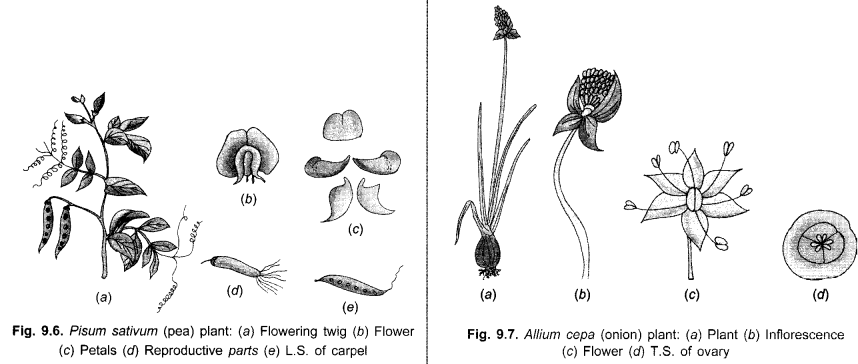 cbse-class-9-science-practical-skills-features-of-monocot-and-dicot-plants-2