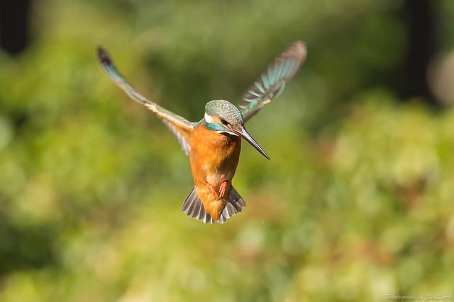 20180114-kingfisher-DSC_4583