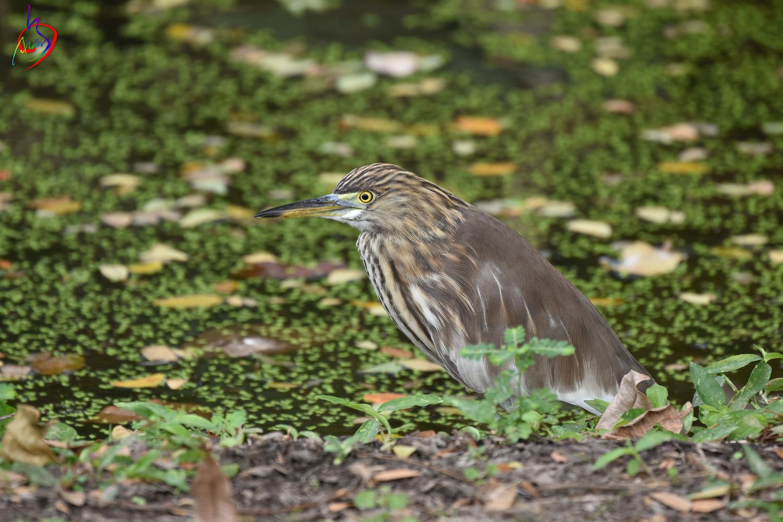 Pond_Heron_4055