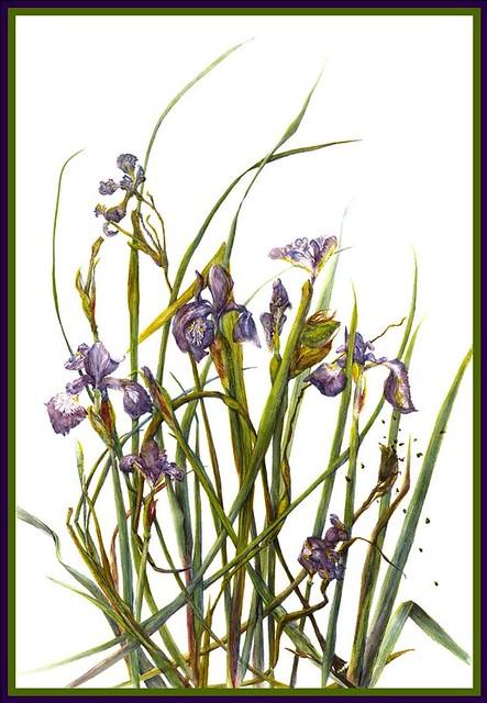 Siberian Iris © 2016 Lindy B. Pollak