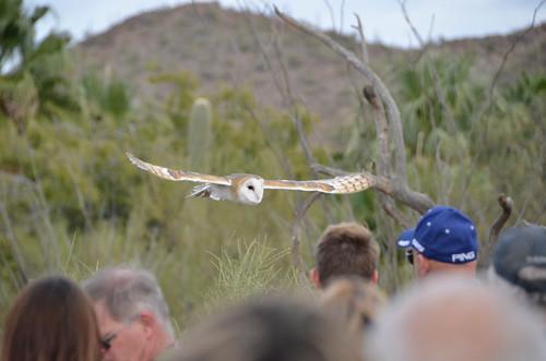 Desert Museum Owl wings flat