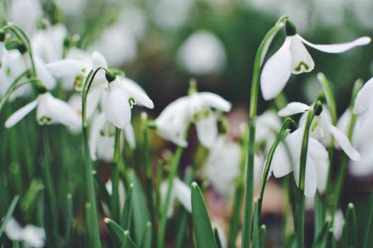 Snowdrops K L