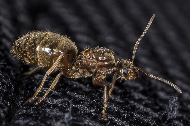 False Honey Ant (Prenolepis imparis)