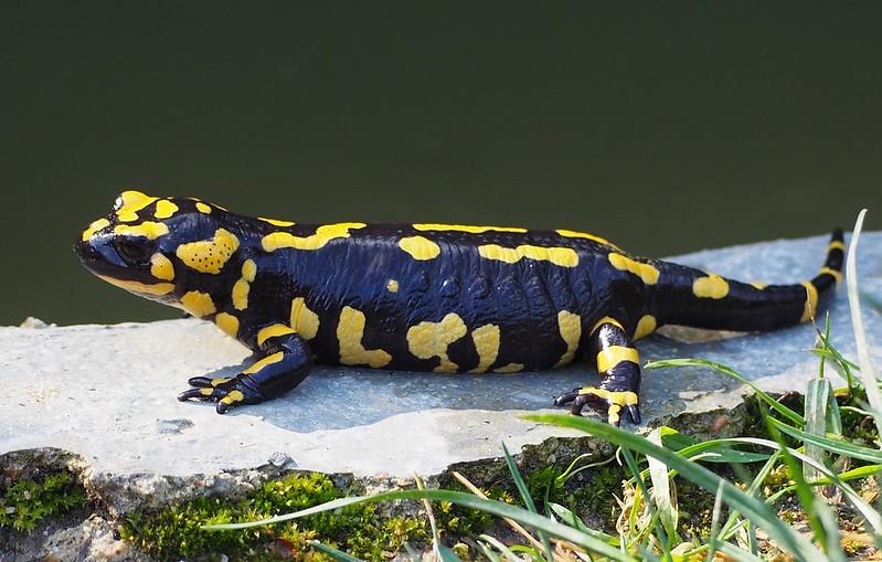 El bostezo de la salamandra 39445425525_2efec4e141_c