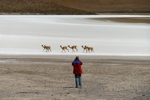 südamerika atacama atacamawüste bolivien bolivia lama llamo lagunahedionda