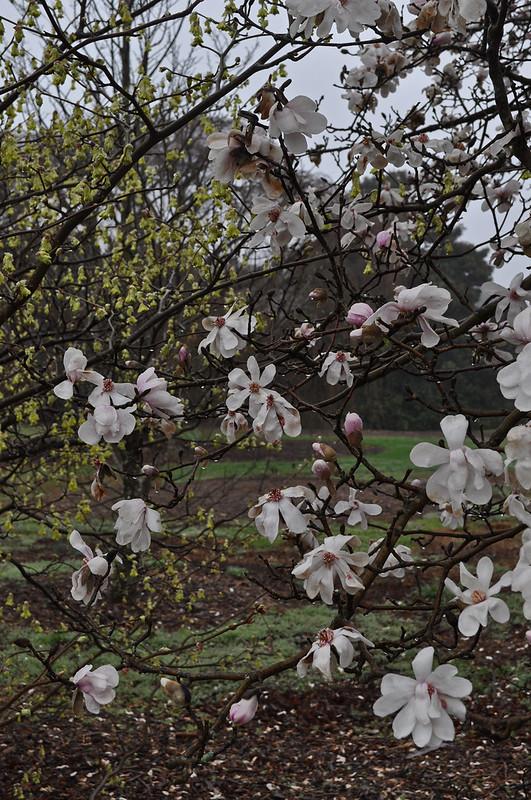 Magnolia × loebneri 'Leonard Messel'  (1)