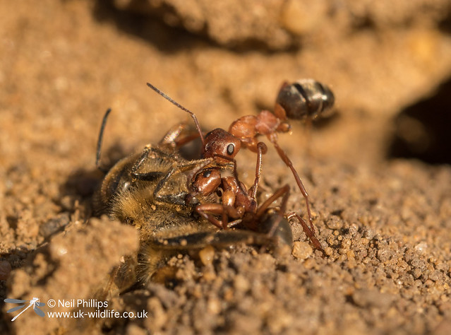 wood ant at Thursley