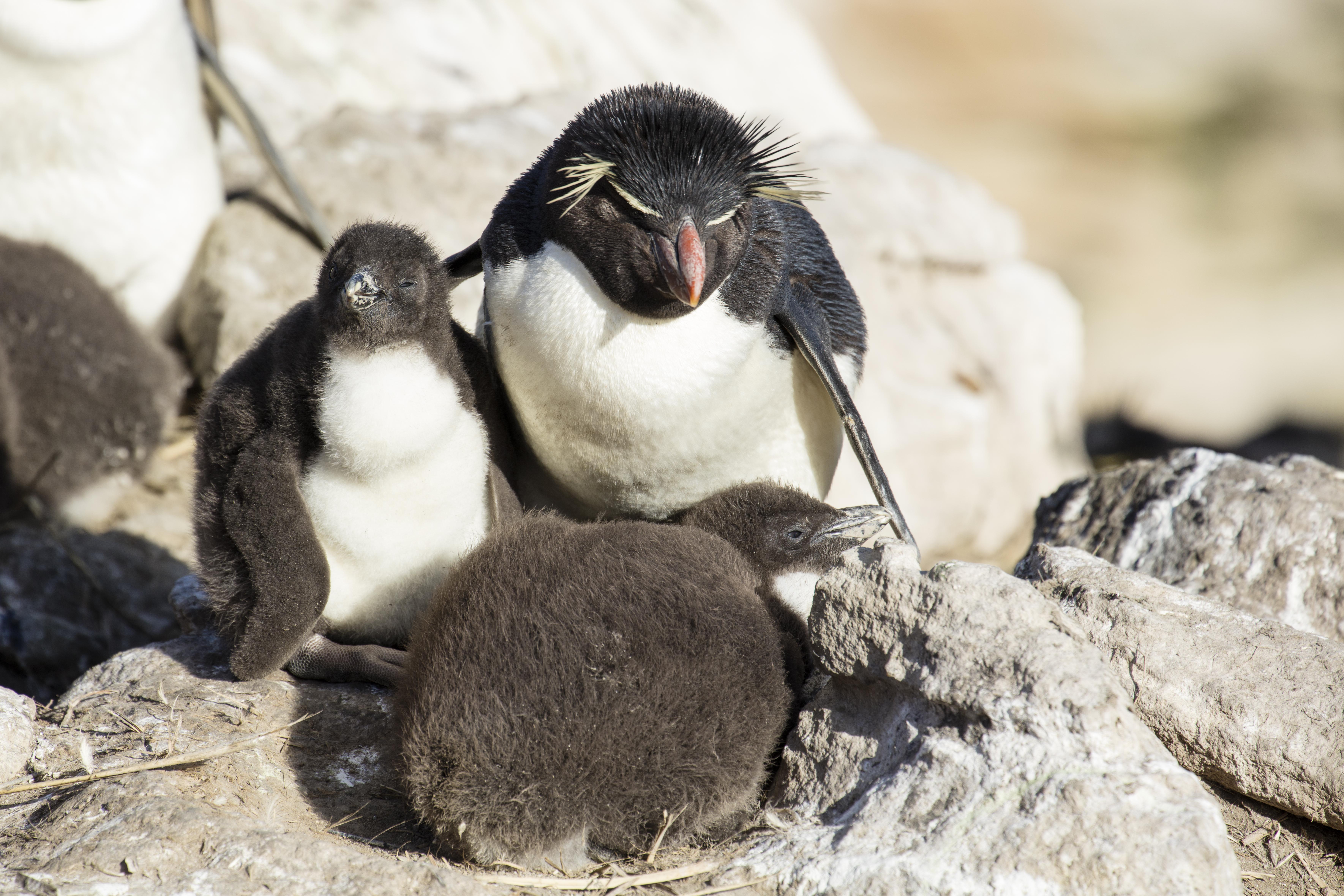 Rockhopper penguins on New Island in the Falkland Islands. Photo taken on January 5, 2016.