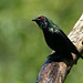 Small photo of Metallic Starling (Aplonis metallica)