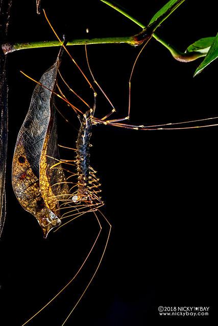 Long-legged centipede (Scutigeridae) - DSC_7744