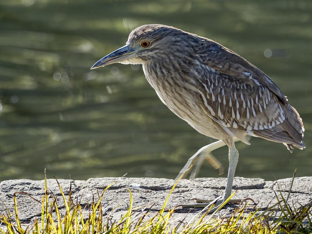 Oiseaux divers [Ajout 2 images 1 mars 2018] 40407310152_691d54d834_b