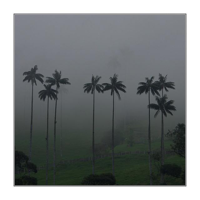 Palmiers à cire / Salento - Colombie