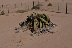 Big Welwitschia