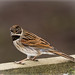 reed bunting 7