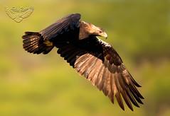 Aguilas Imperiales