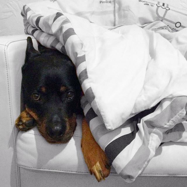 Porter the Rottweiler