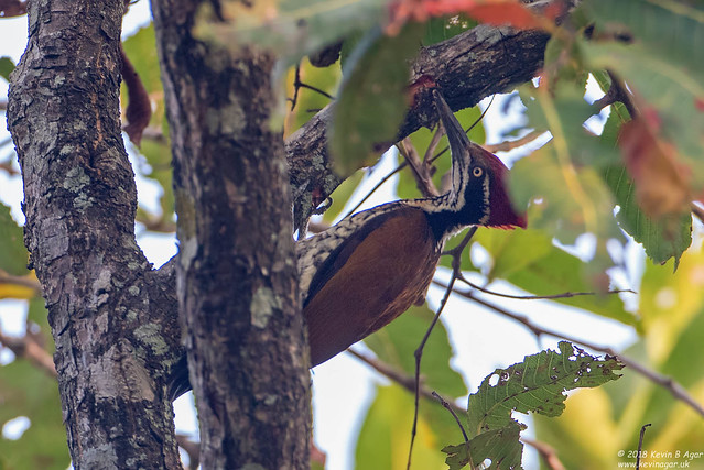 Greater Flameback, Chrysocolaptes guttacristatus, Canon EOS 7D MARK II, Canon EF 500mm f/4L IS