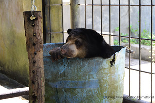 Bear of the Month Desi Orangutan Foundation International Sun Bears Indonesia Borneo
