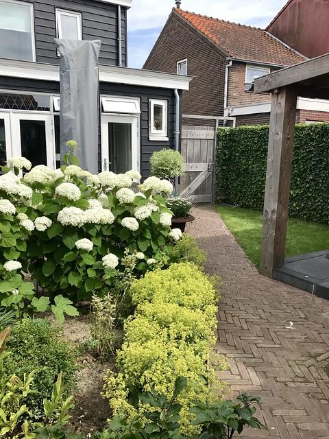 Witte hortensia's landelijke tuin