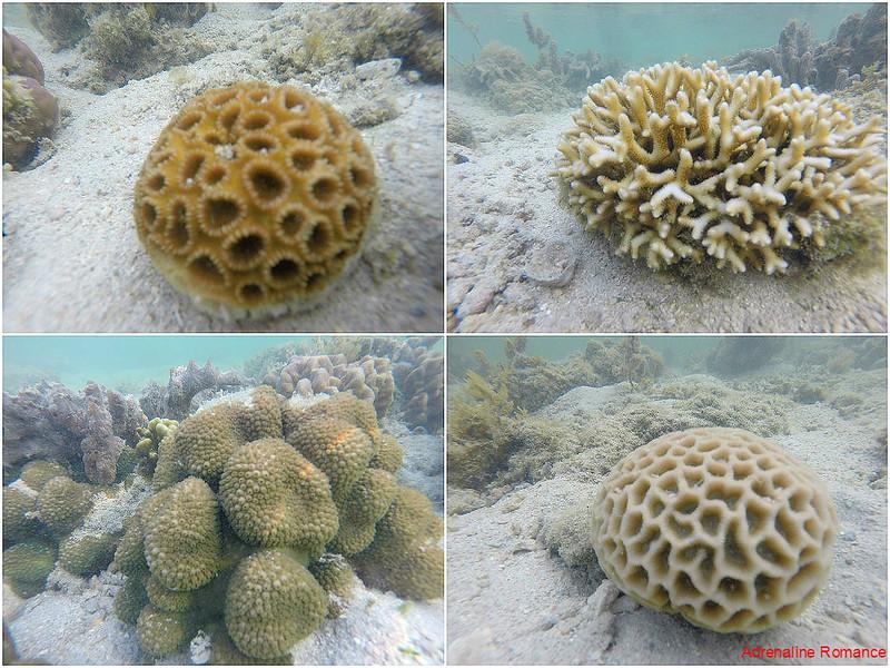 Small corals