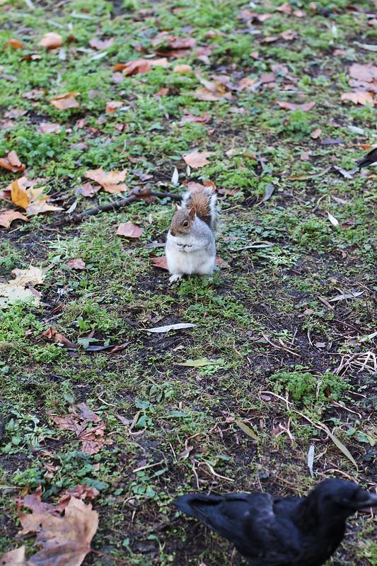 squirrel Hyde Park