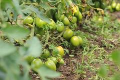 Tomato Value Chain