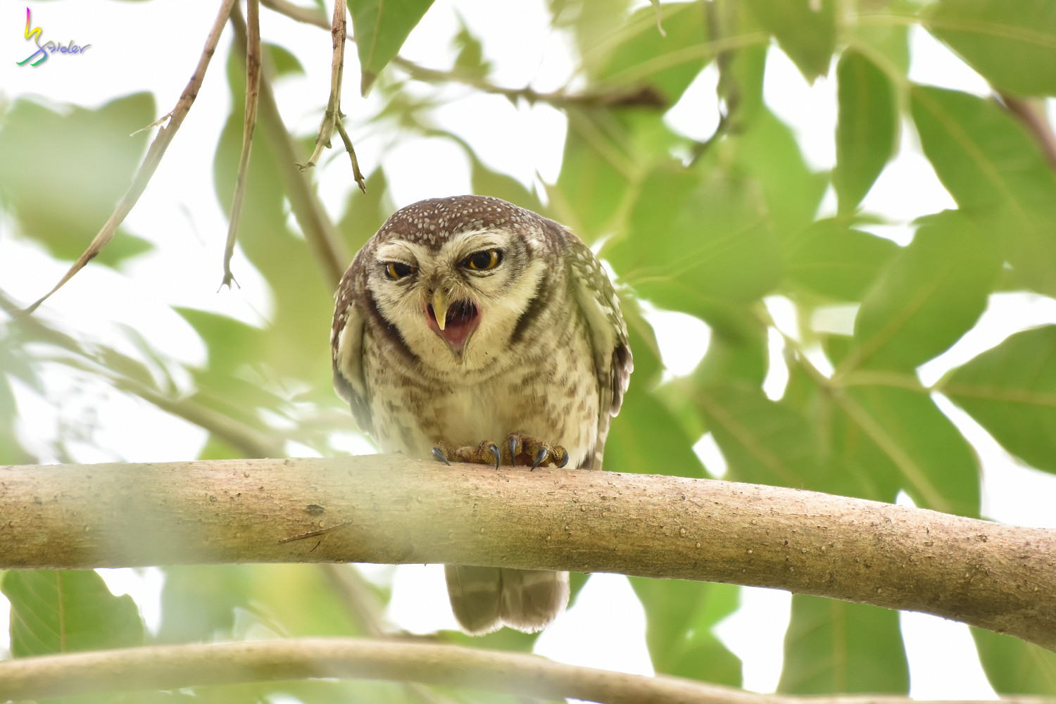 Spotted_Owlet_2398