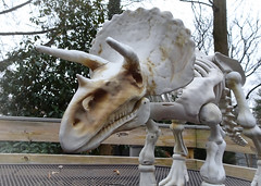 """A Triceratops Named """"Rex"""""""