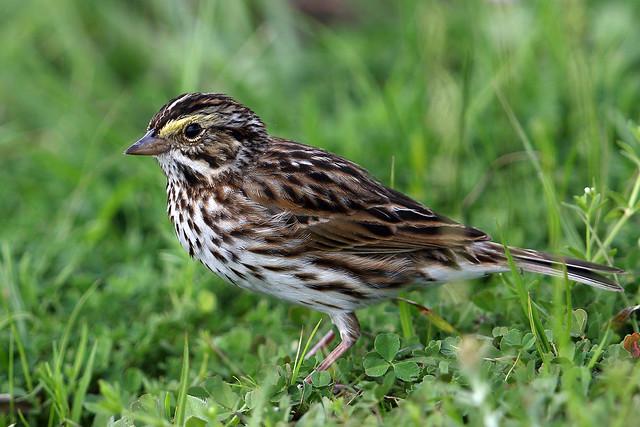 Savannah Sparrow (Passerculus sandwichensis), Canon EOS 7D MARK II, Canon EF 600mm f/4.0L IS II USM