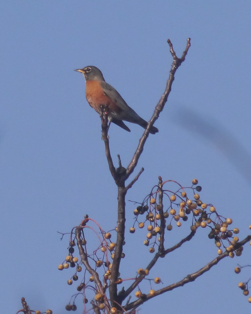 American Robin on Chinaberry Tree