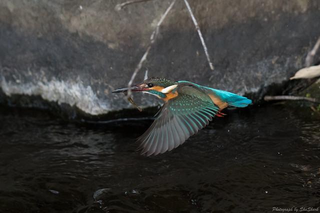 20180211-kingfisher-DSC_8325