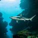 Carcharhinus galapagensis shark #marineexplorer