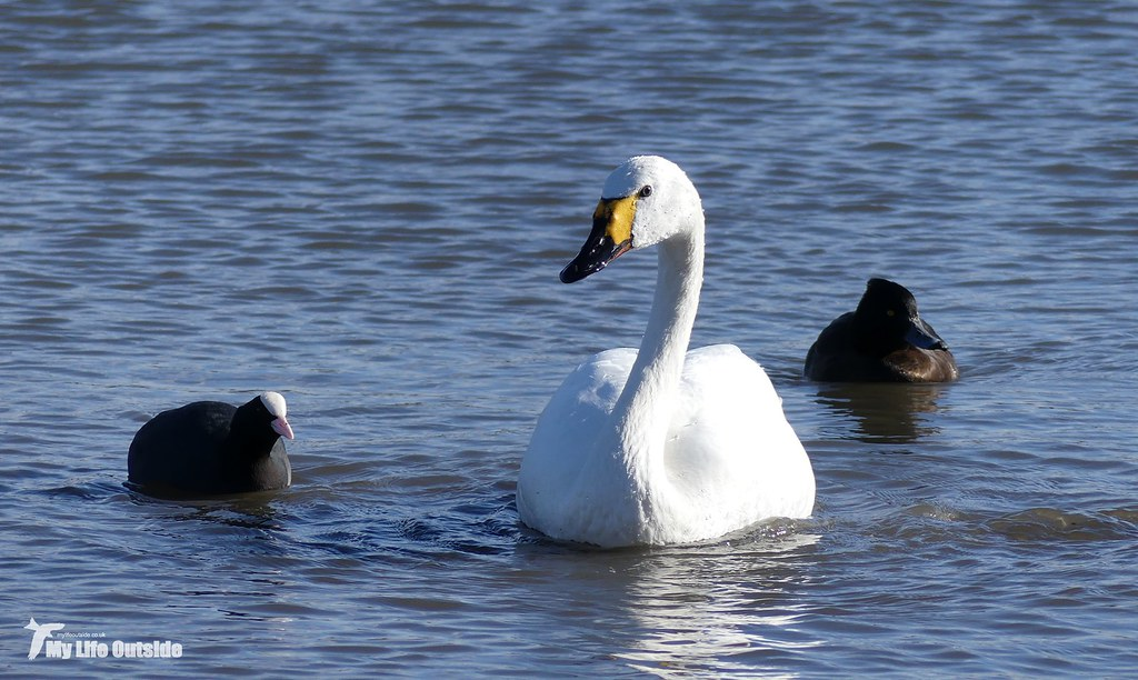 P1130449 - Bewick's Swan, Slimbridge WWT