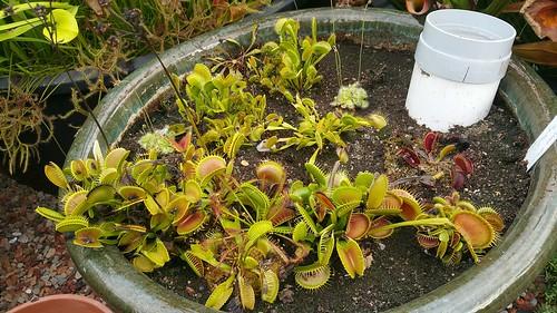 Venus flytrap collection