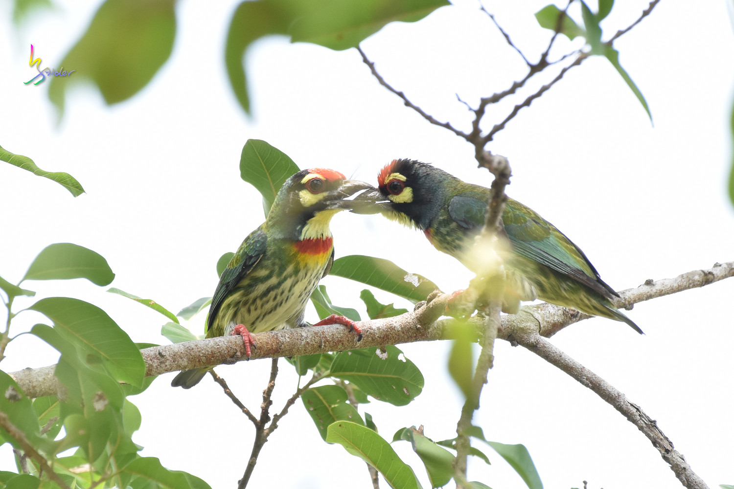 Coppersmith_Barbet_0263