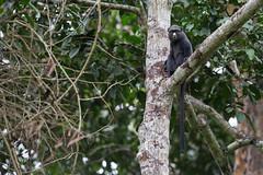 Greater spot-nosed monkey or putty-nosed monkey (Cercopithecus nictitans), Lobéké National Park, Cameroon