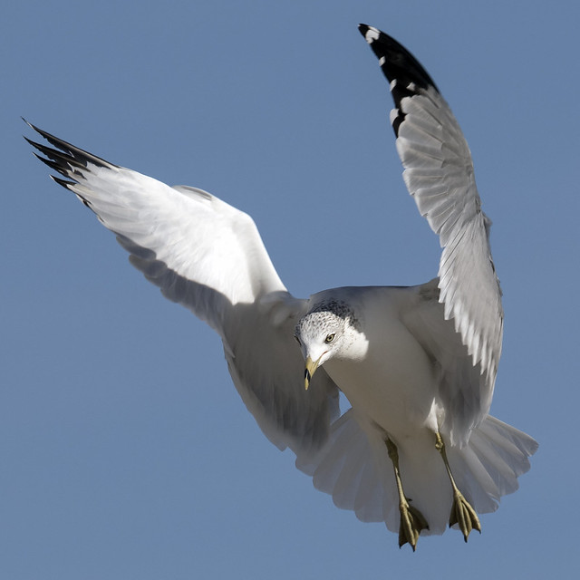 Ring-billed Gull hovering...6O3A6733CR2A