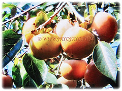 Numerous fruits and oval to obovate leaves of Diospyros kaki (Asian Persimmon, Japanese Persimmon, Oriental Persimmon, Buah Pisang Kaki in Malay), Feb 28 2018