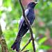 Asian Drongo-Cuckoo