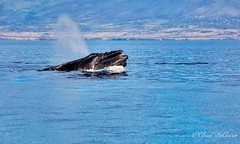 Competition Pod - Maui Humpbacks looking for a mate