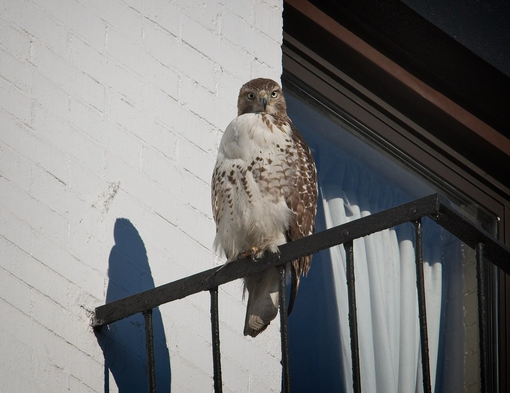 Red-tail with shadow