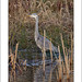 Grey Heron Standing (Ardea cinerea)Pennington Flash Country Park, Lancashire