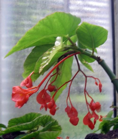 Begonia macduffieana 39119306965_6cecd71b33_o